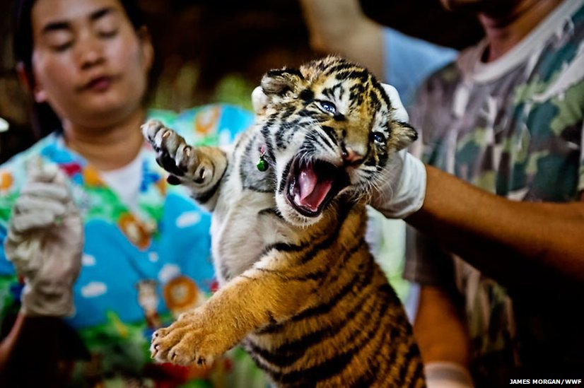 tiger cub for sale