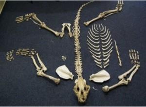 tiger bones CR