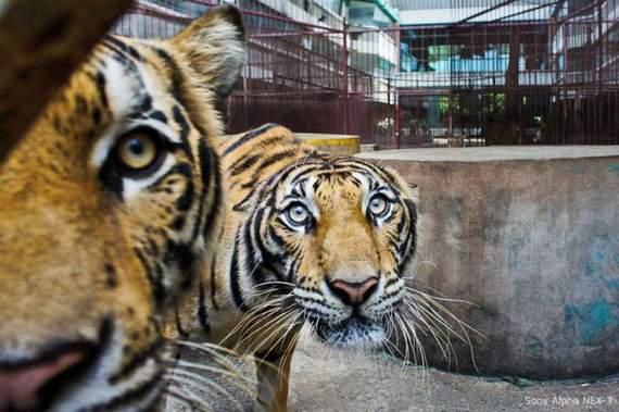 tiger farm thailand
