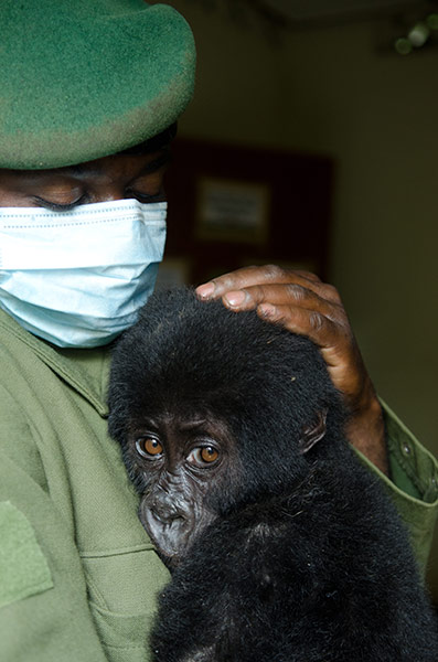 Rescued Gorilla Baby. Photo: LuAnne Cadd