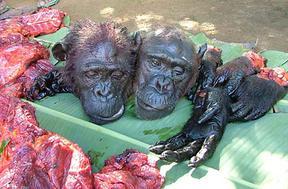 bushmeat trade apes