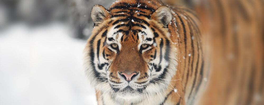 Tiger Wildleaks DSC_0210_orizzontale