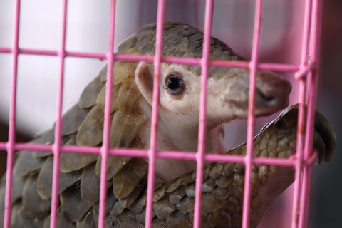 Smuggled pangolin confiscated by authorities.  Rungroj Yongrit/European Pressphoto Agency